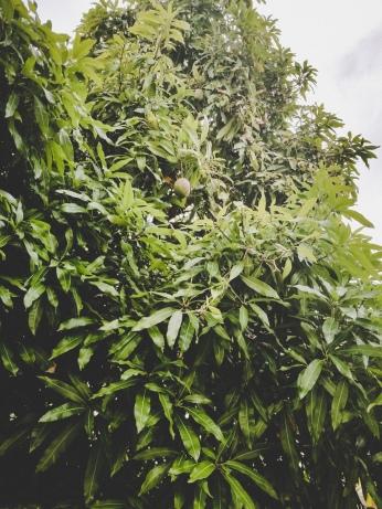 Mango Tree in back